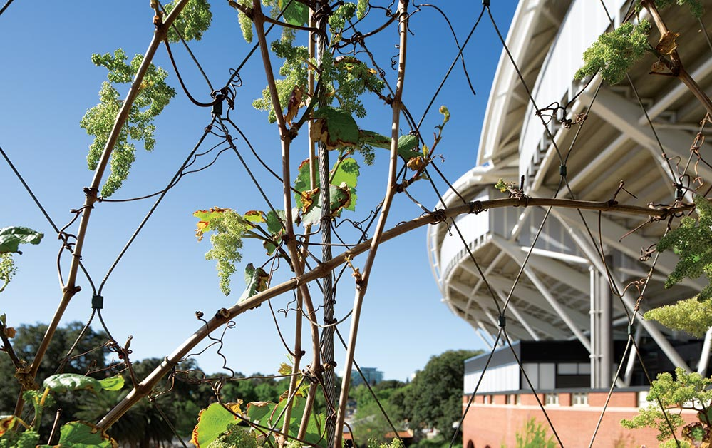 Close up of Adelaide Oval deciduous climbing vines supported by Rpnstan Tensile Architecture Cables and X-Tend Mesh